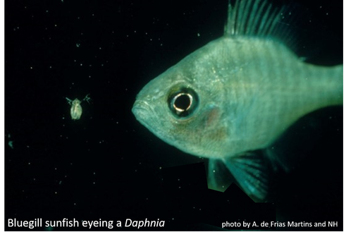 Bluegill sunfish eyeing a Daphnia - photo by Antonio de Frias Martins and NH