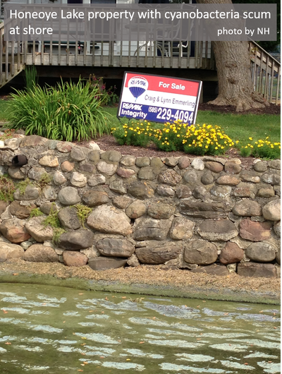 Water's edge at Honeoye Lake during cyanobacteria bloom with house lot for sale sign
